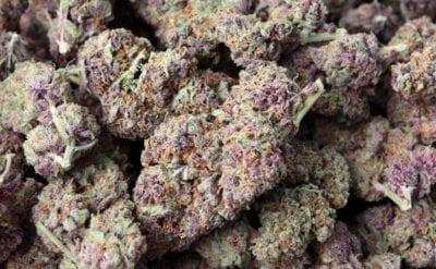 purple haze dc weed
