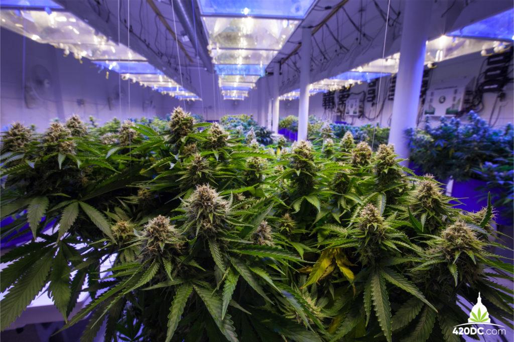 marijuana grower dc