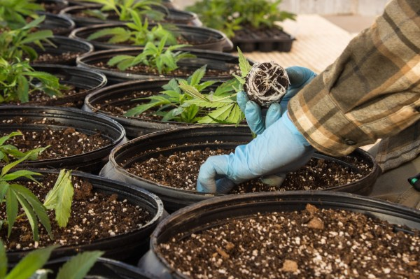 4 Benefits Of Organic Weed - 420 Green Thumb