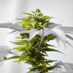 夏休みの自由研究:大麻の栽培方法 まとめ 発芽 ~ 乾燥バッズまでの10の工程