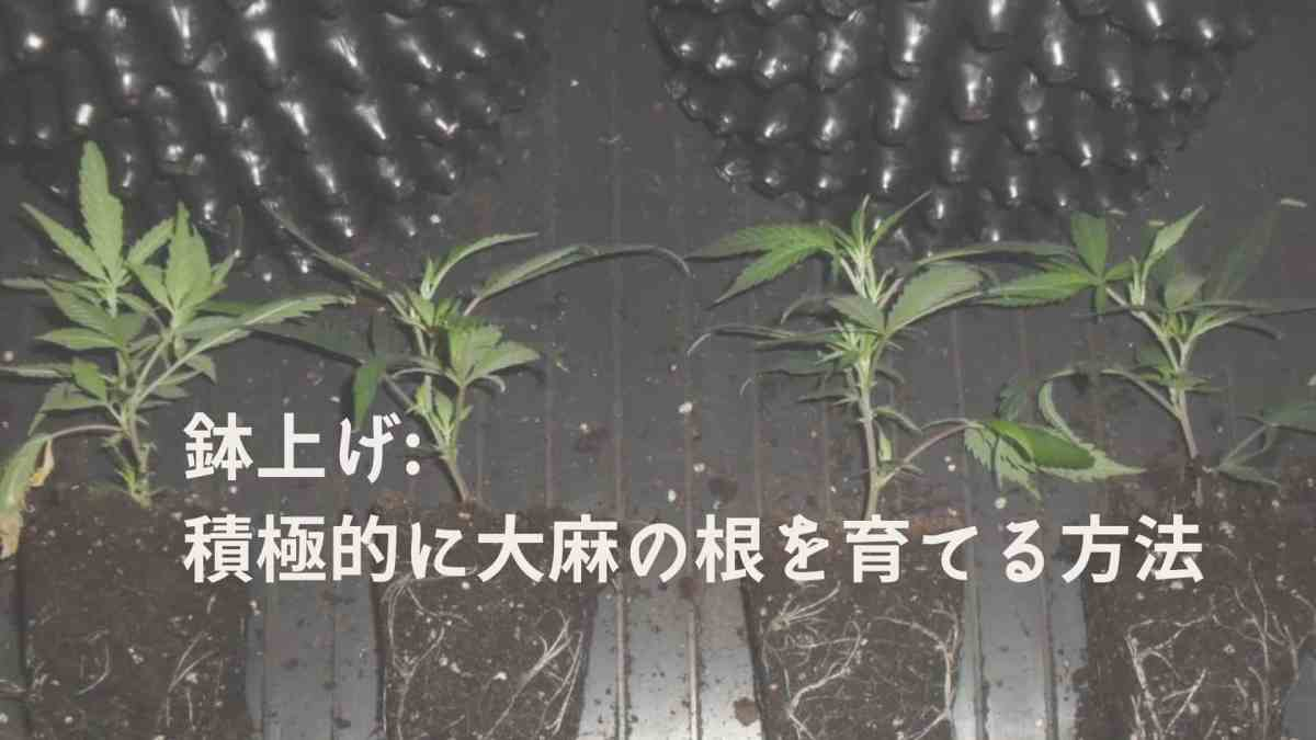 初心者必見!鉢上げ 積極的に大麻の根を育てる方法