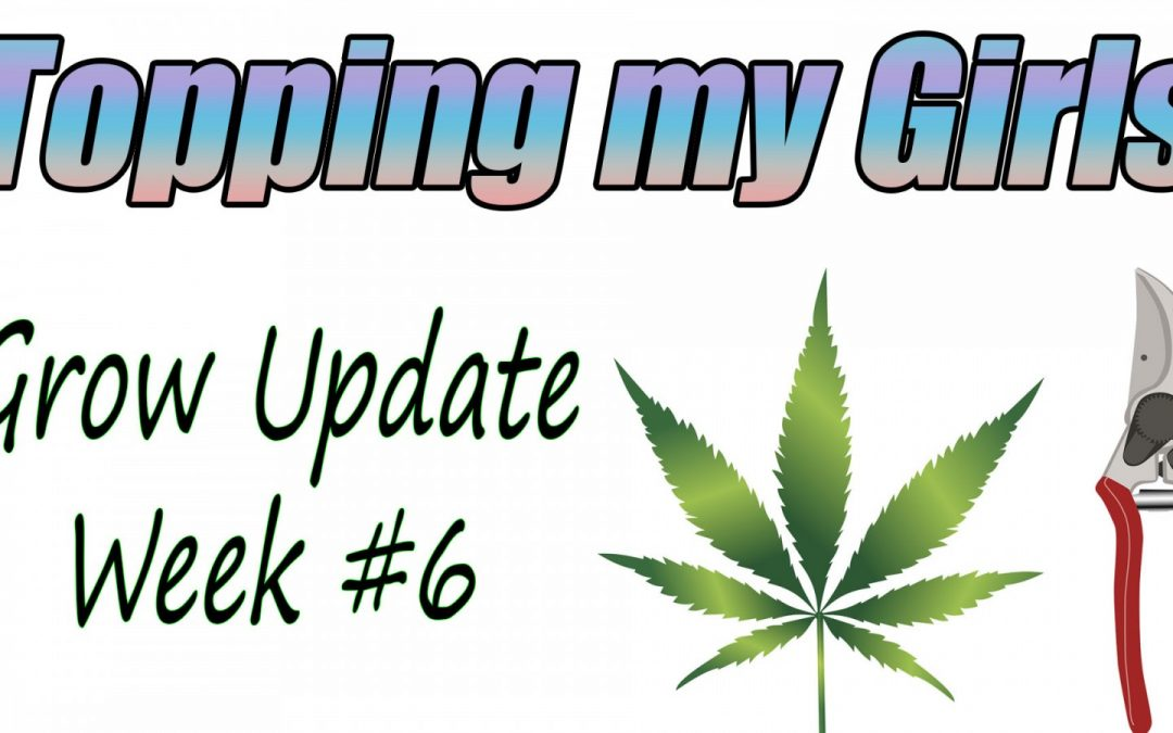 LIVE GROW UPDATE: Topping and Mainlining 6-week old cannabis