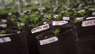 Cannabis Treatment for Chronic Pains-Charlottes Web