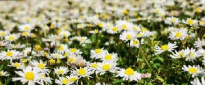 wildpflanzen-bowl-Gänseblümchen