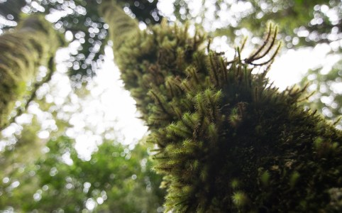 looking up at moss on a tree in new zealand, sv cavalo