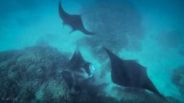 manta rays feeding, sv cavalo