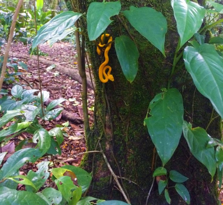 snake in Tortuguero