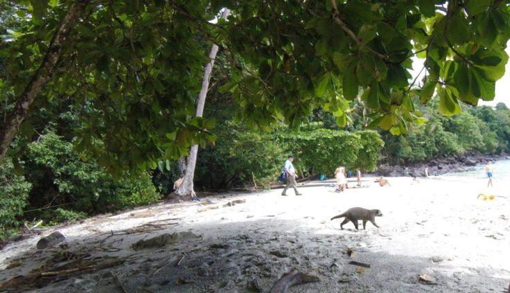 Racoon in Manuel Antonio Park