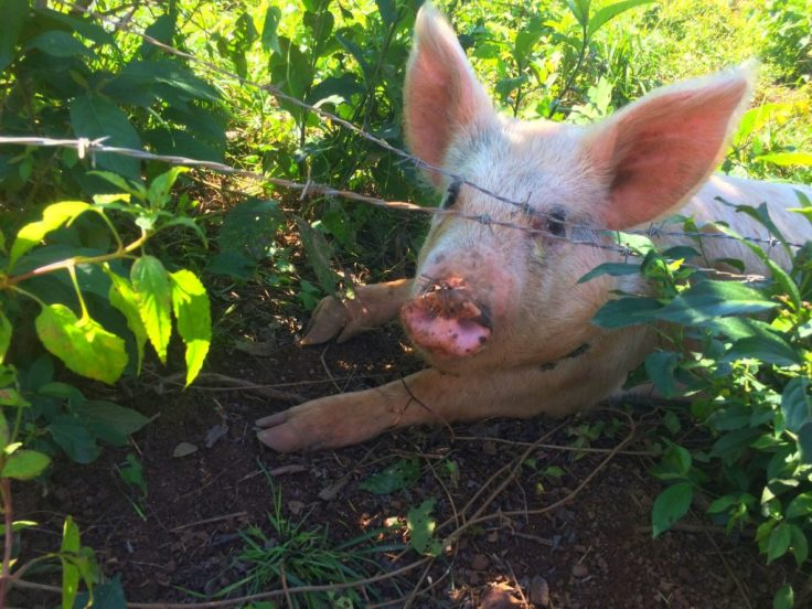 little pig in the grass by their homes of plastic