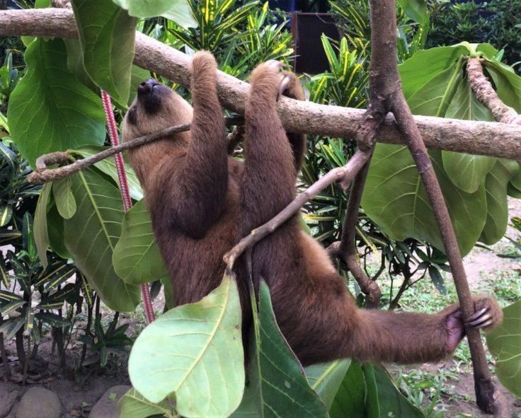 Sloth in the Jaguire Rescue Center in Costa Rica