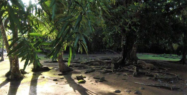 cool tree on an island in Coiba