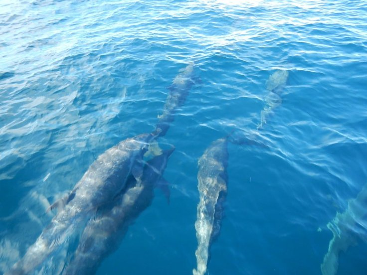 Dolphins in Coiba