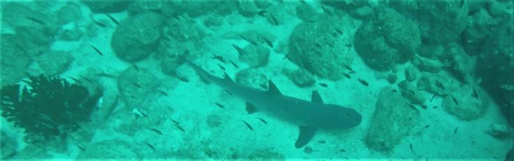 shark in coiba