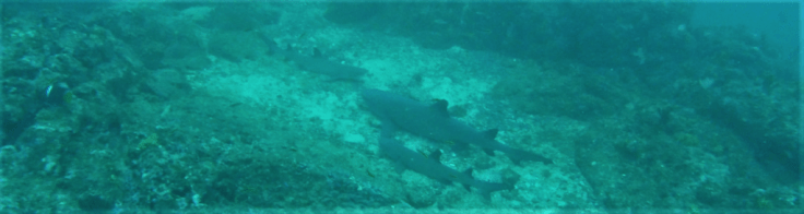 White tip shark in Coiba