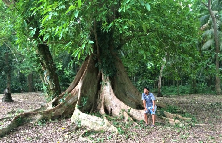 cool tree in Tayrona National Park north of Cartagena, Colombia