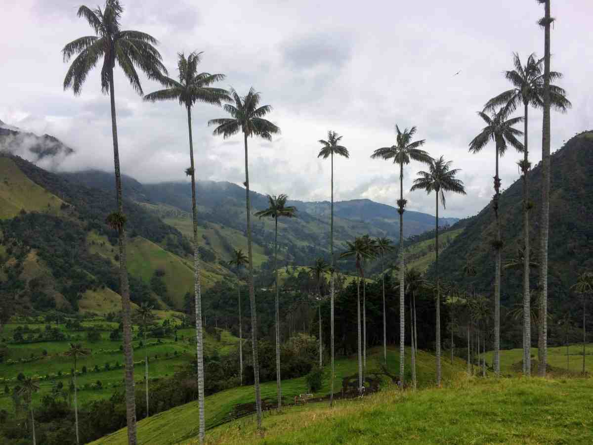 Wax Palm Trees of Cocora Valley, beautiful Colombia