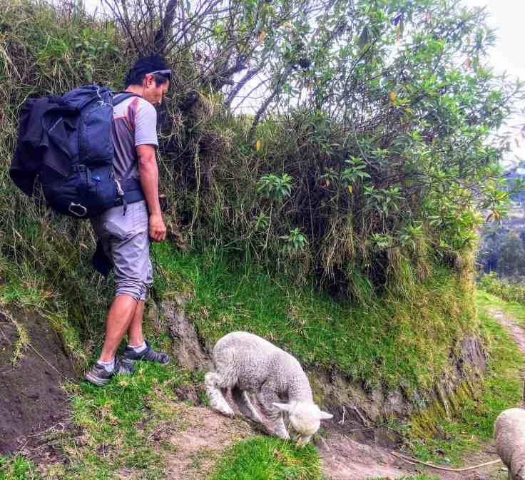 Sheep near Quilotoa