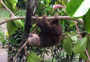 Baby sloth at the Jaguire rescue center