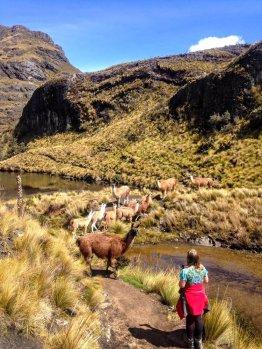 Llamas in Cajas things to do in Ecuador