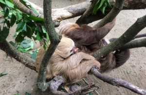 Sloths in a tree