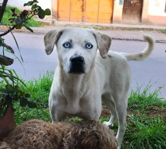 Street dog with blue eyes