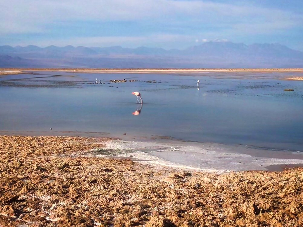 Flamingos of the Salt Flats in the Atacama