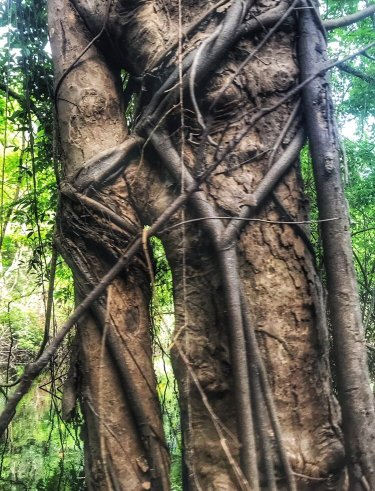 Vine strangling tree in our Amazon tours