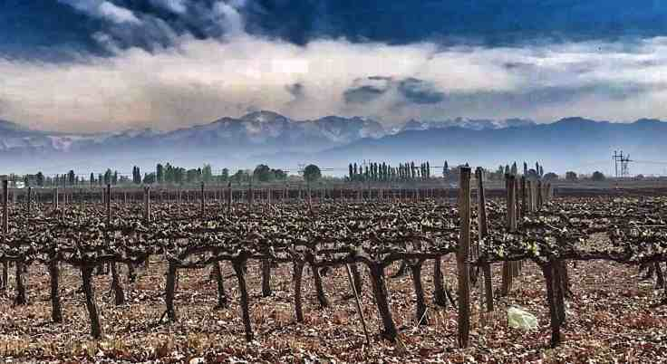 Vineyard in Mendoza with white capped mountains in the background