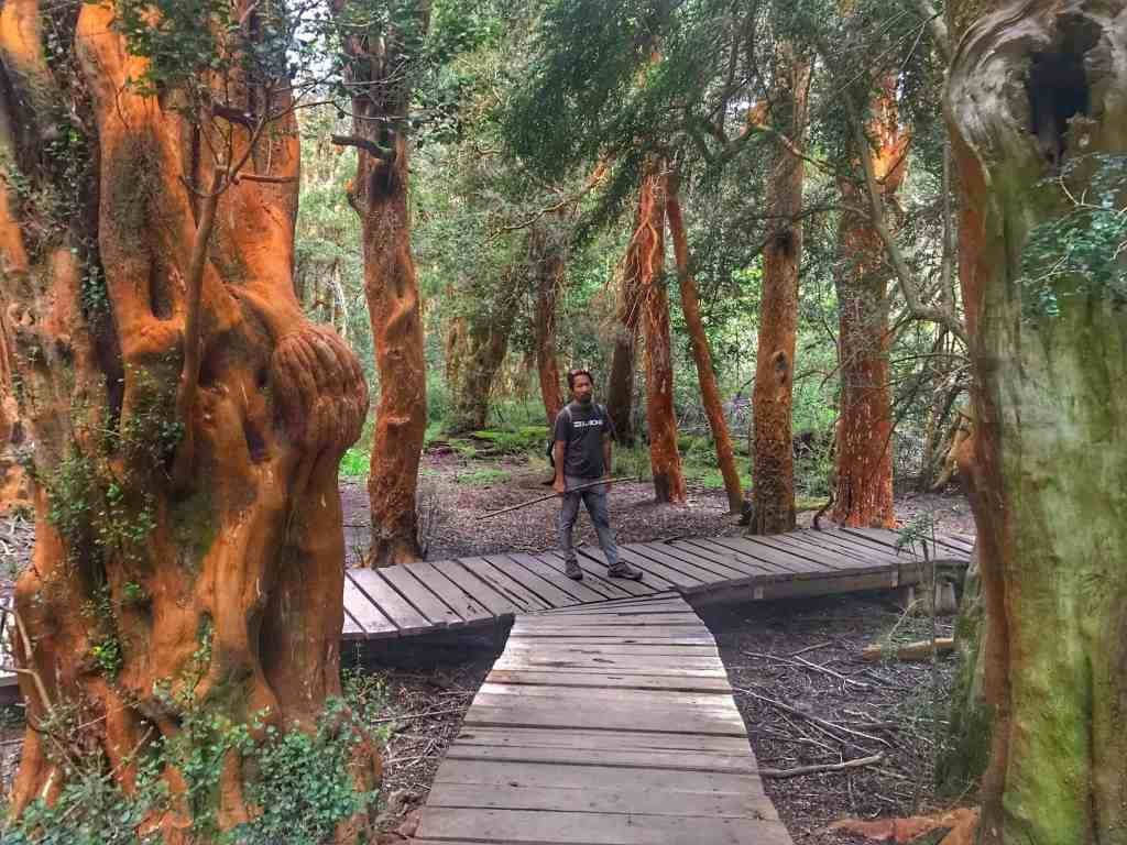 Red Arrayan trees in Bariloche Argentina