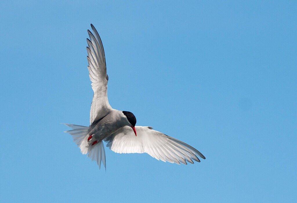 An white Arctic Tern against a blue sky in South Georgia