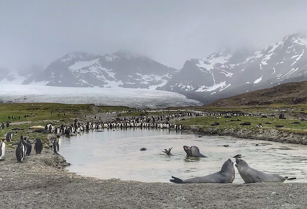 Young Elephant Seals playing in the water with a glacier in the background in St. Andrews Bay South Georgia