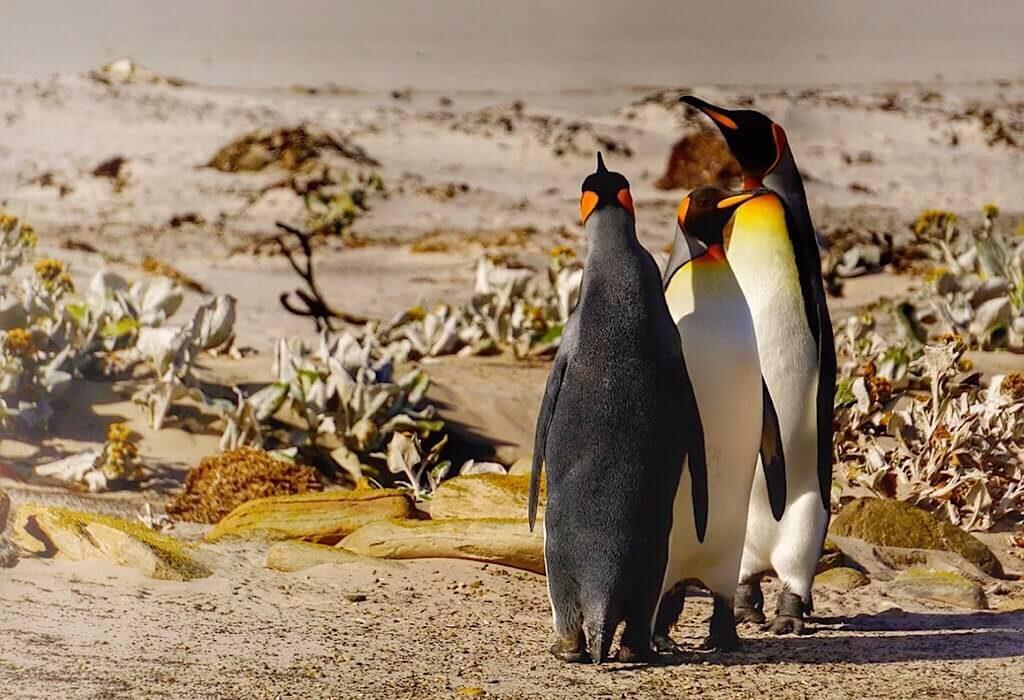 King Penguins on Saunders Island part of the Falkland islands