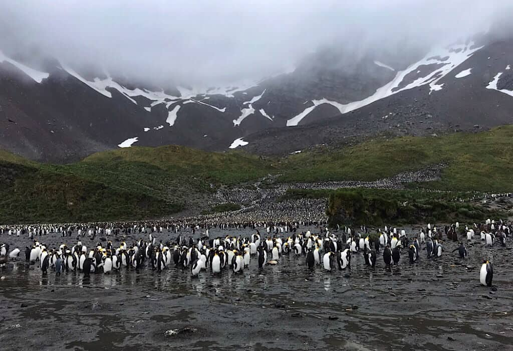 Penguin colony in South Georgia on the side of a misty mountain