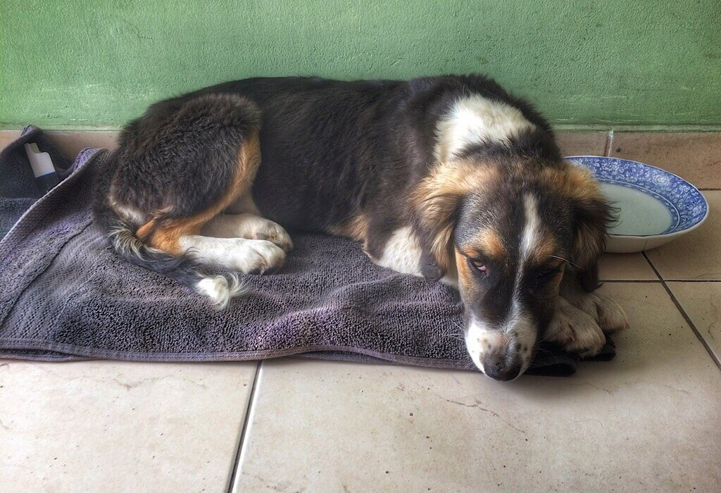 A sick puppy in Quito Ecuador