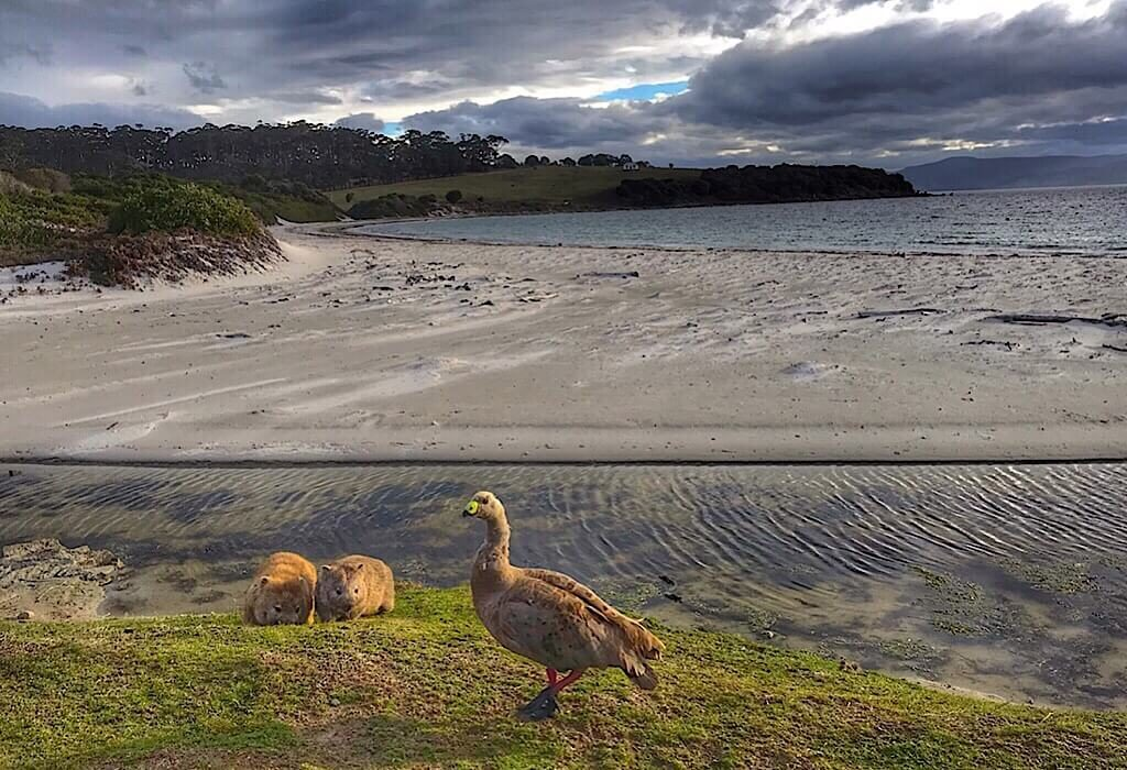 A wombat and her joey graze next to a Cape Barren goose