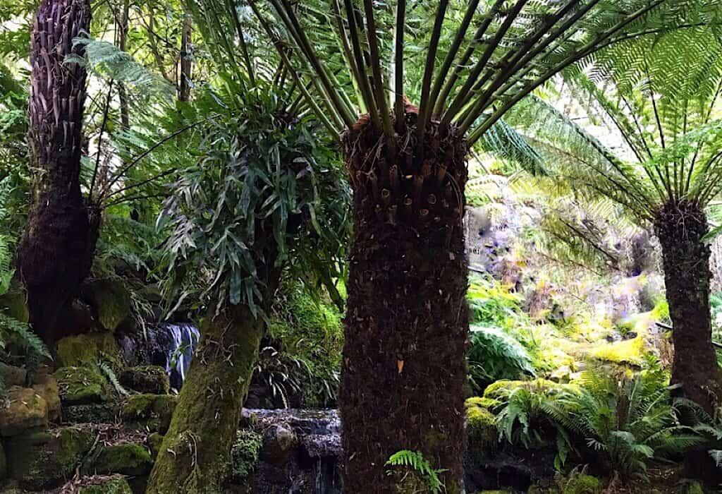 A Fern Tree found throughout the Tasmanian Wilderness