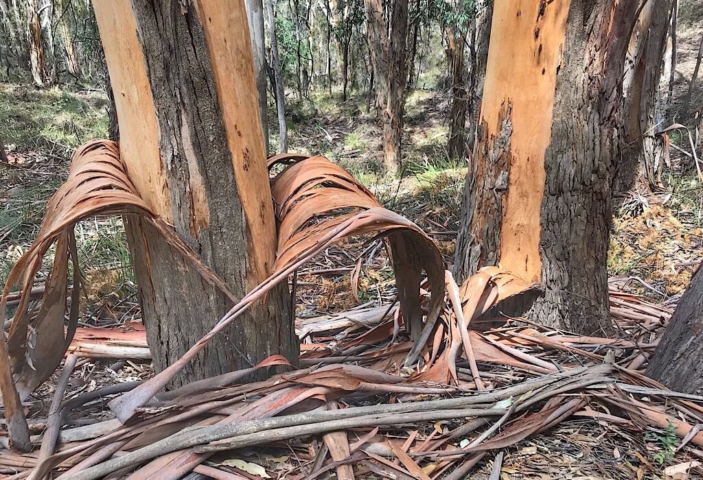 Bark naturally being shed by a Eucalyptus Tree