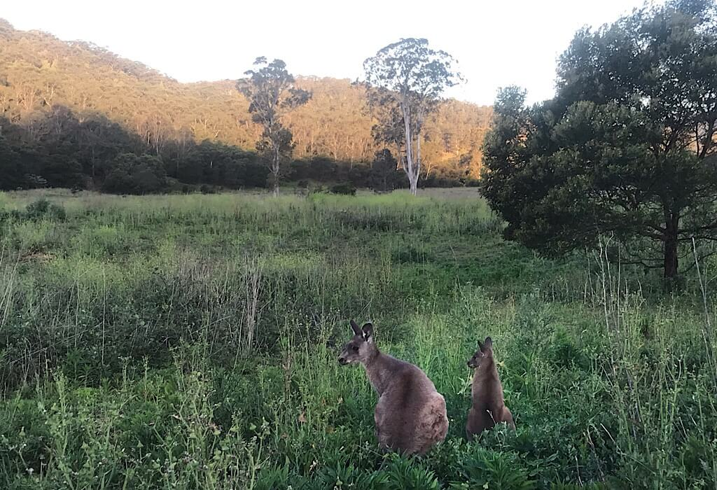 Kangaroo in the field next to Lil' Beaut