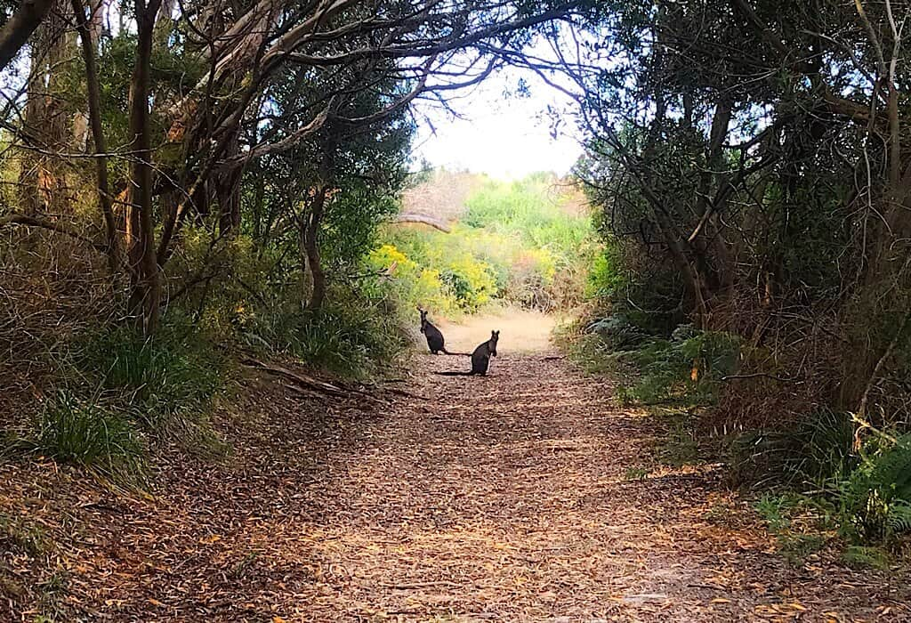 Wallabies looking at us on the path to hells hole, one of the remote sinkholes in South Australia