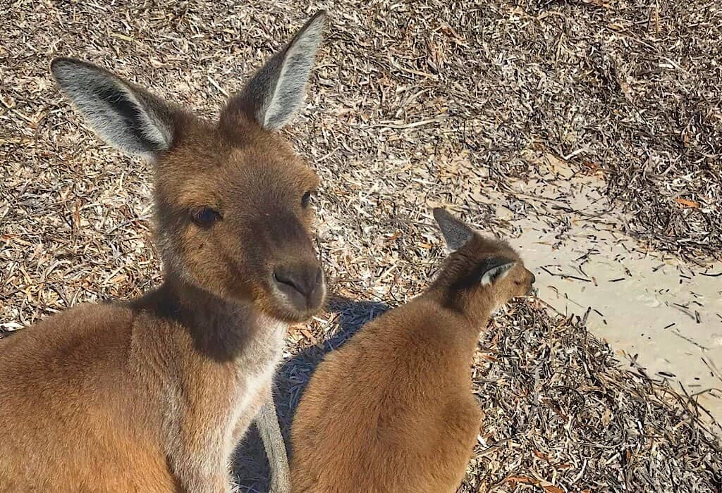 Kangaroo on Lucky Bay beach in La Grand National Park near Esperance Western Australia