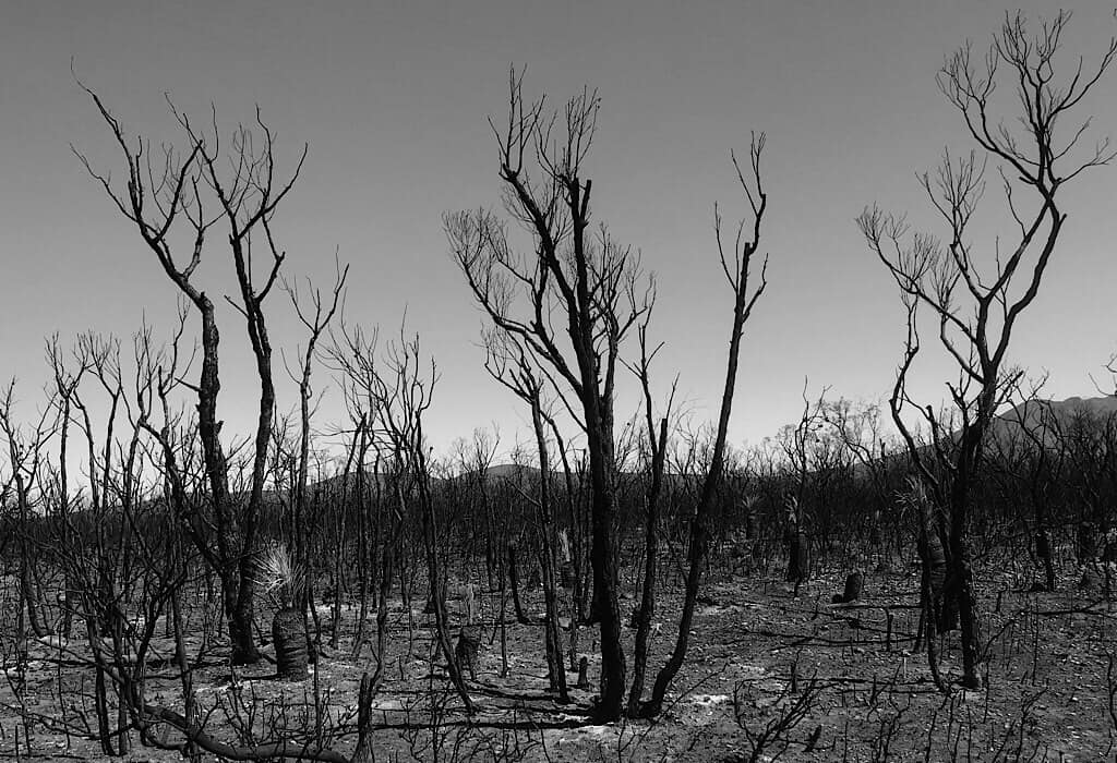 Burned trees and grown cover in the Sterling Range in Western Australia