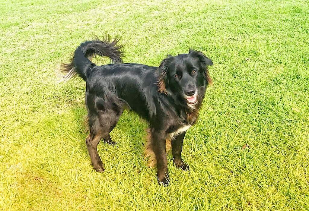 Blue, a black dog on green grass