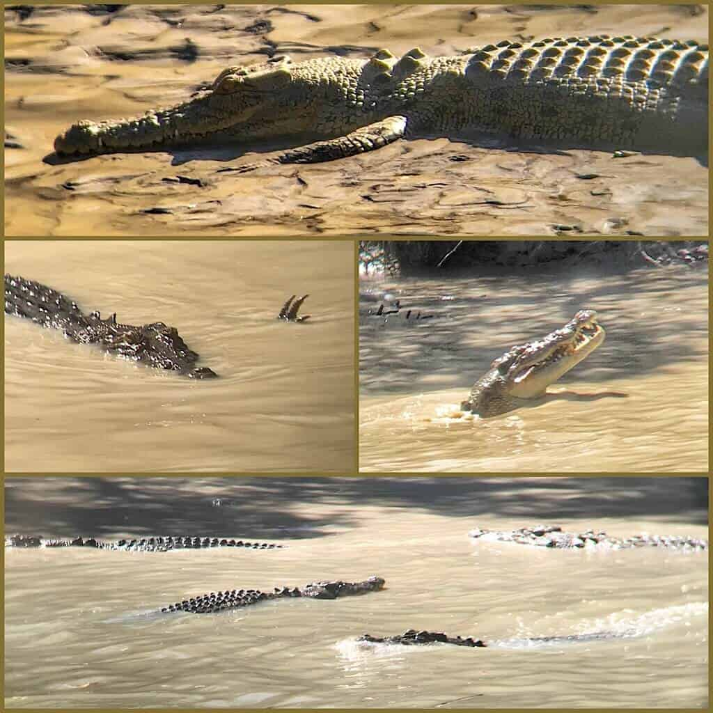 Saltwater crocodiles at Chahill's Crossing in Kakadu NP