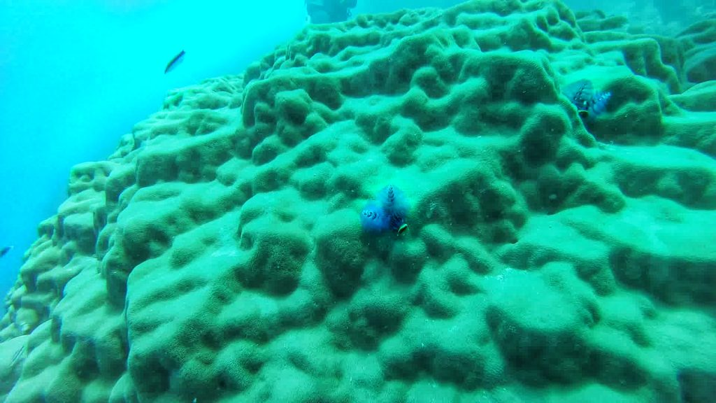 Blue Christmas tree worm on coral