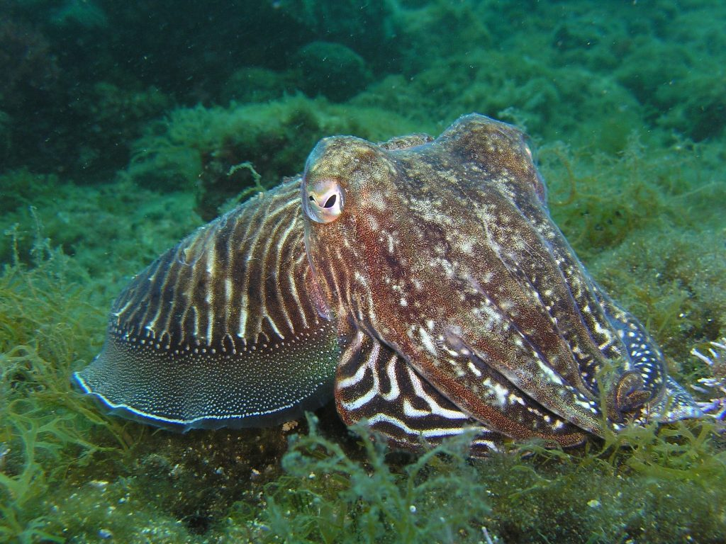 Cuttlefish from Creative Commons