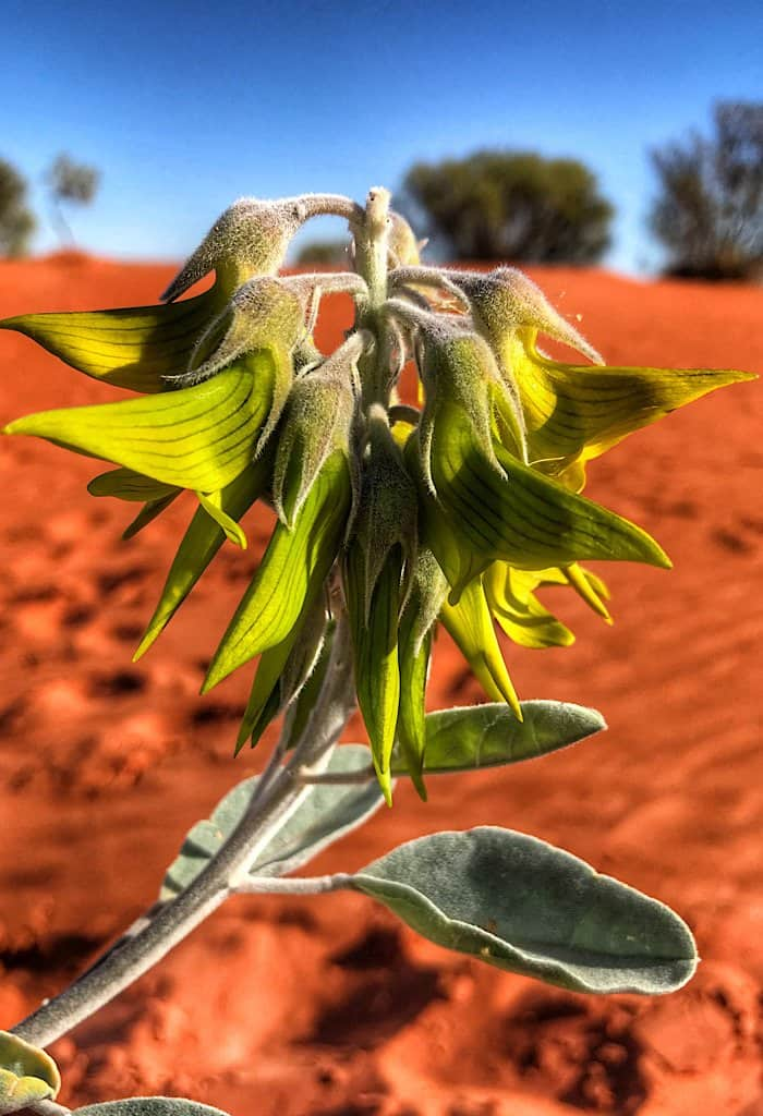 Green birdflower scientific name Crotalaria cunninghamii. The flower of this plant looks like hummingbirds.