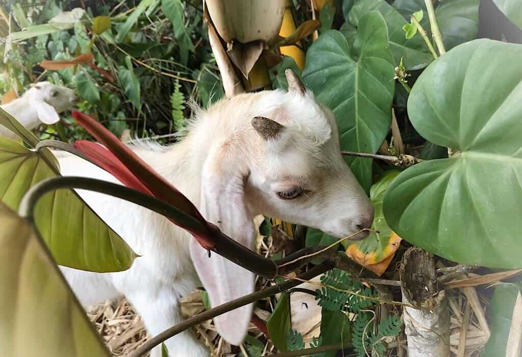 A white baby goat eating leaves