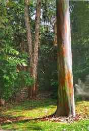 The multi colored trunk of a Karri Tree, Eucalyptus diversicolor.