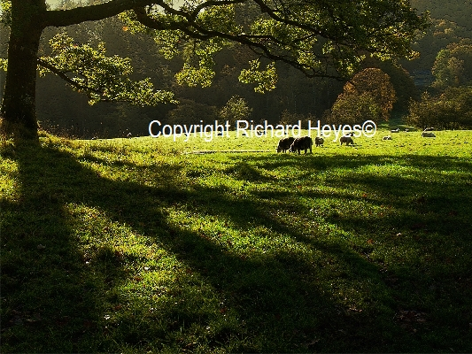 26_Sunlit Pasture_Richard Heyes_(-)