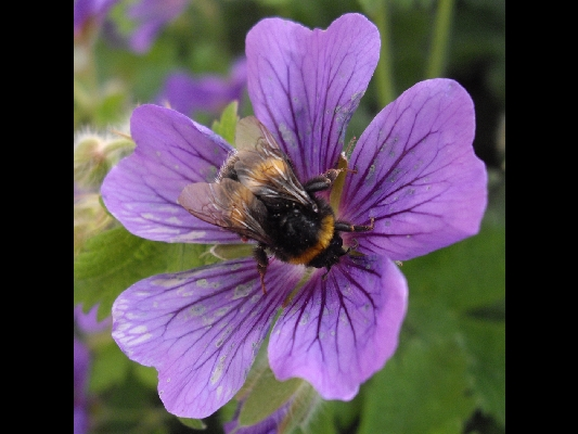 Bee on Blue Geranium